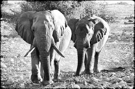 Old elephant bulls on path, Etosha, Namibia _ Black-White019
