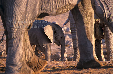 Elephant baby with herd, Etosha, Namibia - elephants093