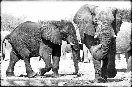 Elephants at a waterhole, Etosha, Namibia _ Black-White051