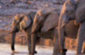 Elephants drinking, Etosha, Namibia - elephants082