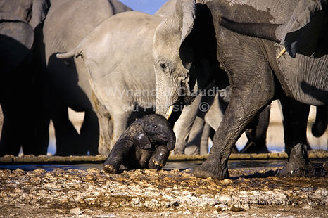Elephant helped out of trough, Gemsbokvlakte, Etosha, Namibia - elephants087