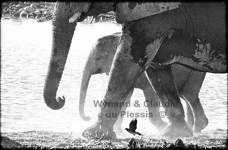 Elephants at a waterhole, Etosha, Namibia _ Black-White049