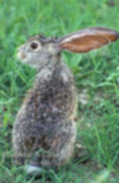 Shrub hare, Etosha, Namibia: wildlife060
