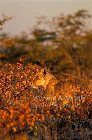 Lioness in Mopane savanna in Autumn, Etosha: lion042