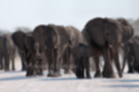 Elephant herd blocking the road, Etosha - elephants038