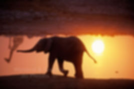 Elephant calf at sunset, Etosha, Namibia - elephants020
