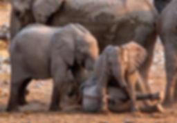 Elephant babies playing, Etosha, Namibia - elephants169