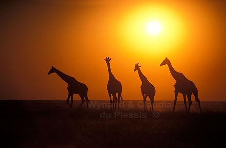 Giraffe at sunset, Etosha, Namibia - wildlife001