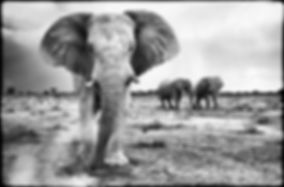 Imposing giants - Elephants in Etosha, Namibia _ Black-White014