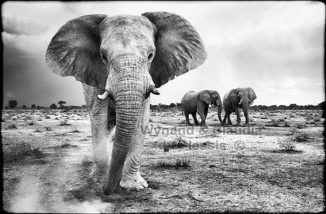 Imposing giants - Elephants in Etosha, Namibia _ Black-White014