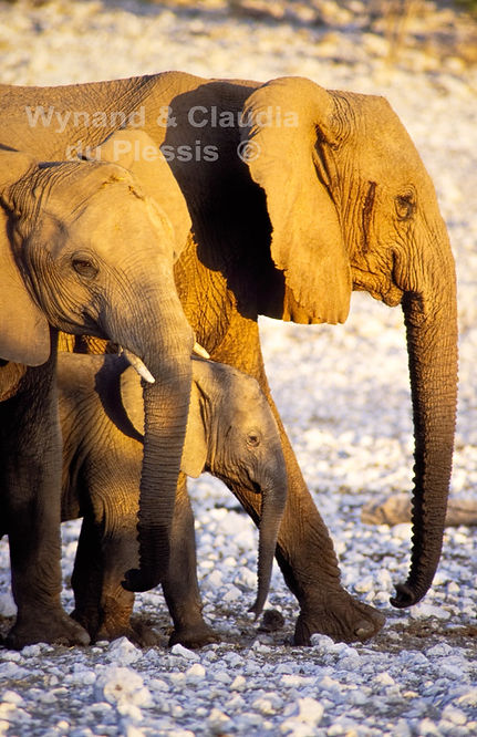Elephants in Etosha, Namibia: elephants123