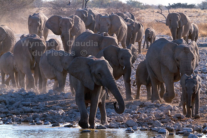 Elephants gather at Okaukuejo waterhole, Etosha, Namibia - elephants078