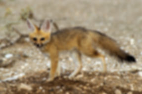 Baby Cape Fox at den, Etosha: wildlife043