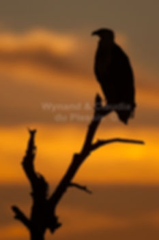 African Fish Eagle at sunset, Caprivi, Namibia - birds010