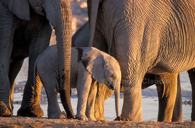 Elephant baby with herd, Etosha, Namibia - elephants008