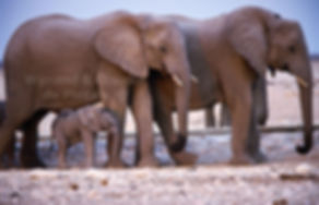 Small elephant baby with herd, Etosha, Namibia - elephants045