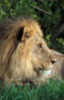 Male lion resting, Etosha: lion028