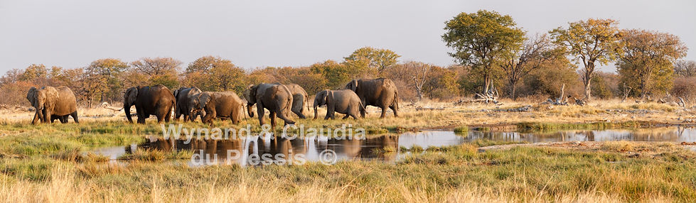 Elephant herd at Goas waterhole - panorama, Etosha, Namibia: elephants143