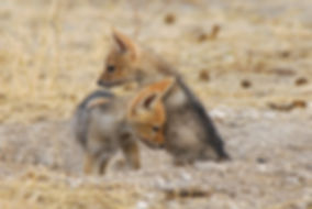 Baby Black-back jackal at den, Etosha: wildlife042