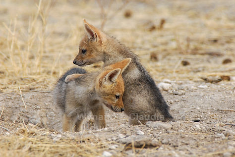 Baby Black-back jackal at den, Etosha: wildlife042