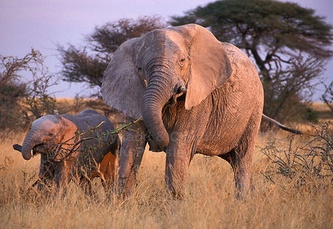 Elephant mother & calf browsing, Etosha, Namibia - elephants017