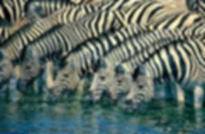Burchell's zebra drinking, Etosha, Namibia - wildlife004