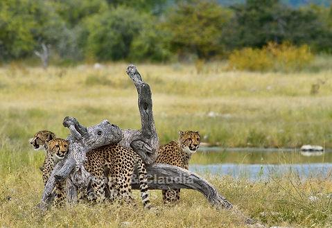 Cheetah family at waterhole, Etosha, Namibia - wildlife019