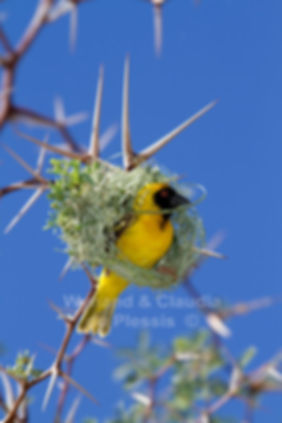 Masked Weaver building a nest, Namibia - birds034