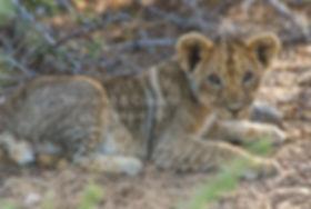 Lion cub, Etosha: lion048