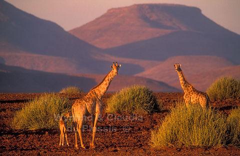 Giraffe in Damaraland, Namibia - wildlife021
