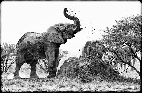 Elephant dust bathing, Etosha, Namibia _ Black-White042