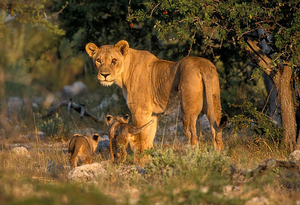 Lioness with small cubs, Etosha, Namibia: lion006