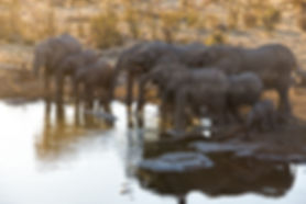 Elephants drinking at Halali waterhole, Etosha: elephants114