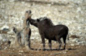 Warthog rubbing it's tusk, Etosha, Namibia - wildlife010