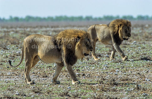 Alpha male lions on the Etosha plains: lion050