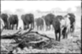 Elephant herd marching to waterhole, Etosha, Namibia _ Black-White064