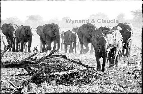 Elephant herd marching to waterhole, Etosha, Namibia _ Black-White064