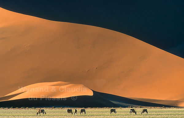 Oryx dwarfed by the dunes of the Namib Desert: landscape044
