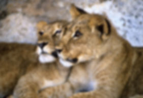 Lion cubs, Namibia: lion003