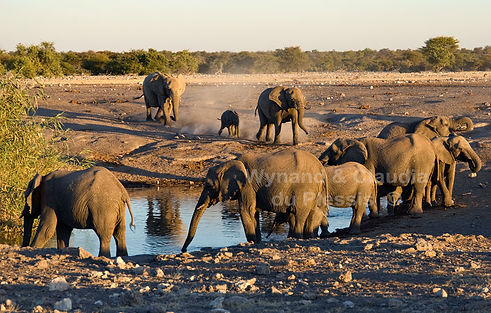 Elephant herd arrives at Chudop waterhole, Etosha - elephants023