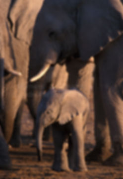 Elephant baby with herd, Etosha, Namibia - elephants014