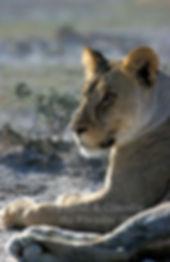 Lioness resting, Etosha, Namibia: lion007