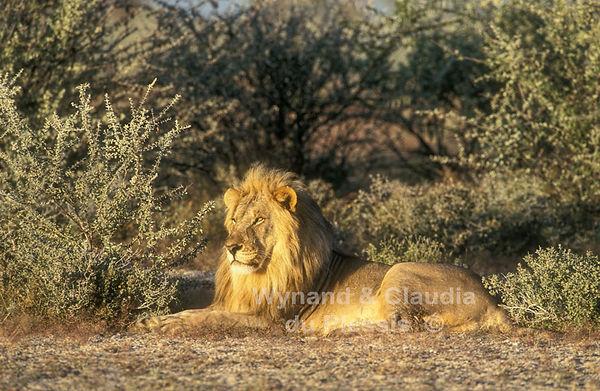 Prime male lion, Etosha: lion036