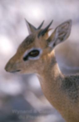 Damara dik-dik portrait, Etosha, Namibia: wildlife052