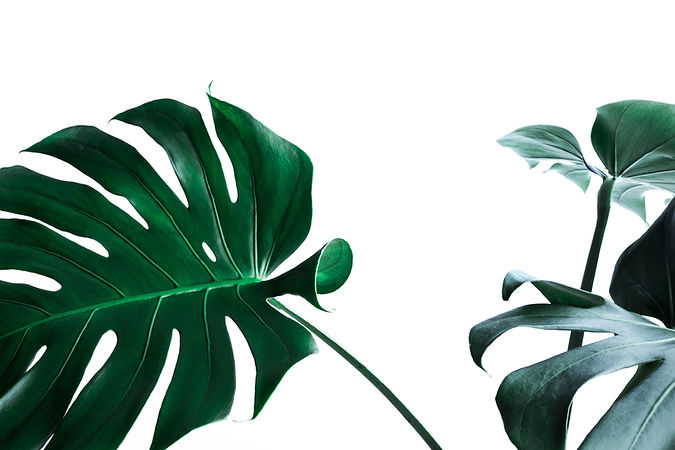 real-monstera-leaves-decorating-for-comp
