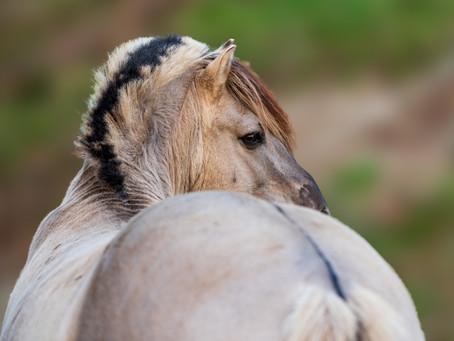 Das Pferd des Weihnachtsmannes oder wie das Fjordpferd zu seinem Aalstrich kam
