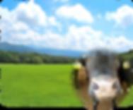 空と牛2.png