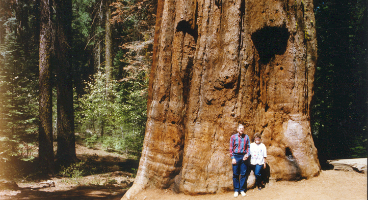 Sequois tree.png