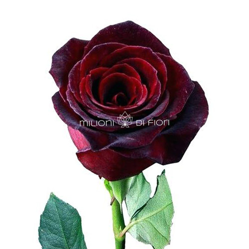 Black Baccara Rose Minimum Order From 20 Stems