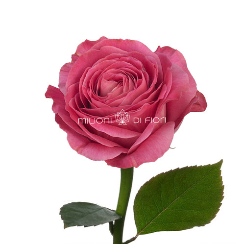 All flowers images love rose